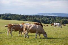 Kudde van koeien en kalveren die op een groene weide weiden Royalty-vrije Stock Afbeeldingen
