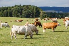 Kudde van koeien en kalveren die op weide weiden Royalty-vrije Stock Afbeelding