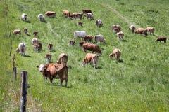 Kudde van koeien en kalveren het weiden Stock Afbeelding