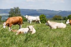 Kudde van koeien en kalveren het weiden Royalty-vrije Stock Foto