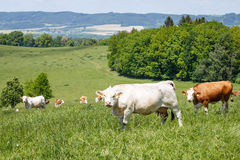 Kudde van koeien en kalveren op een groene weide Royalty-vrije Stock Foto