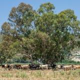 Kudde van koeien, Kefalonia Griekenland stock afbeelding