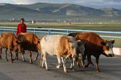Kudde van koeien op de weg Stock Foto's