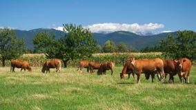 Kudde van koeien op weiland Stock Afbeeldingen