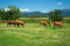 Kudde van koeien op weiland Stock Foto