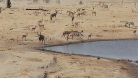 Kudde van Kudu en spingbok het drinken van waterhole, het de safariwild van Afrika stock footage