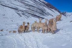 Kudde van Lama's in de Andes stock afbeelding