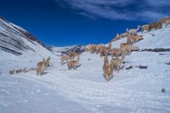 Kudde van Lama's in de Andes royalty-vrije stock afbeelding