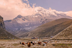 Kudde van Lama's die bij Chimborazo-Vulkaan weiden Stock Afbeeldingen