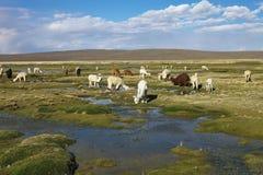 Kudde van lama'saltiplano in Peru stock afbeeldingen