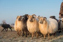 Kudde van landelijke schapen met een herdershond op een de winterdag met blauwe hemel royalty-vrije stock fotografie