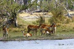Kudde van Lechwe-antilopen royalty-vrije stock afbeeldingen