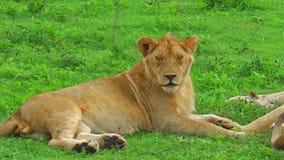 Kudde van leeuwen stock videobeelden