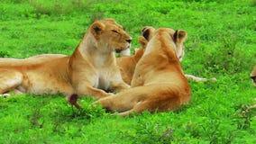 Kudde van leeuwen stock footage