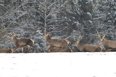 Kudde van mannetje en hertdeers die op horizont in het sneeuw witte bos in de winter letten op royalty-vrije stock afbeelding