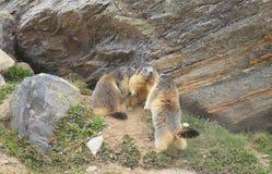 Kudde van marmotten in berg Royalty-vrije Stock Afbeeldingen