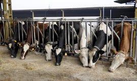 Kudde van melkkoeien Royalty-vrije Stock Foto's