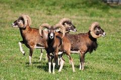 Kudde van mouflons Royalty-vrije Stock Afbeeldingen