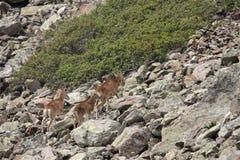 Kudde van Mouflons in de Pyreneeën royalty-vrije stock foto's