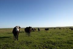 Kudde van nieuwsgierig vee in een open weiland Royalty-vrije Stock Afbeeldingen