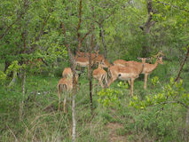 Kudde van Nyalas in Zuid-Afrika Royalty-vrije Stock Afbeelding