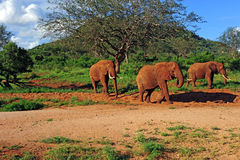 Kudde van olifant Royalty-vrije Stock Foto