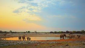 Kudde van olifant bij schemer bij een waterhole Stock Afbeeldingen