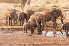 Kudde van olifanten Stock Afbeelding