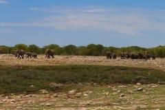 Kudde van olifanten Royalty-vrije Stock Foto's