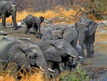 Kudde van olifanten bij een waterhole Stock Foto's