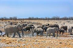 Kudde van olifanten bij een waterhole Stock Afbeelding