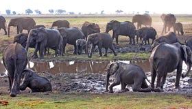 Kudde van olifanten bij waterhole Stock Afbeelding