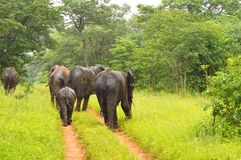 Kudde van olifanten in de regen Stock Foto