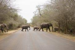 Kudde van olifanten die de bedekte weg kruisen Stock Foto's