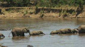 Kudde van olifanten die over de mara rivier in masaimara spelreserve lopen stock videobeelden