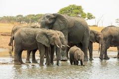 Kudde van olifanten die zich in een ondiepe waterhole in het Nationale Park van Hwange bevinden Royalty-vrije Stock Fotografie
