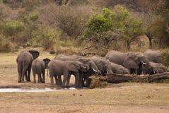 Kudde van olifanten het drinken Stock Afbeeldingen