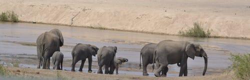 Kudde van Olifanten, het Nationale Park van Kruger Royalty-vrije Stock Foto