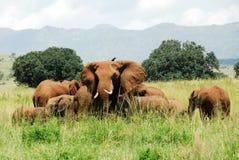 Kudde van olifanten, Kidepo Vallei NP (Oeganda) Stock Fotografie
