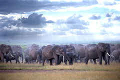 Kudde van olifanten op Afrikaanse savanne Stock Fotografie