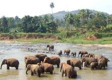 Kudde van olifanten in rivier Stock Foto