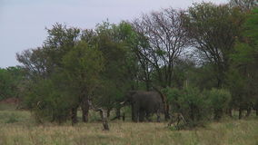 Kudde van olifanten Serengeti stock video