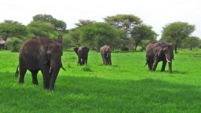 Kudde van olifanten Tanzania stock videobeelden