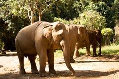 Kudde van Olifanten in Thailand stock foto