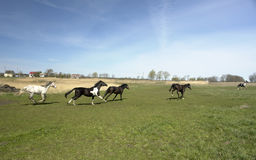 Kudde van op de vlucht jagende paarden Royalty-vrije Stock Foto's