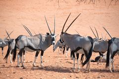Kudde van Oryx met lange hoornen op oranje zand van Namib-woestijn achtergrondclose-up, safari in Namibië, Zuid-Afrika stock foto's