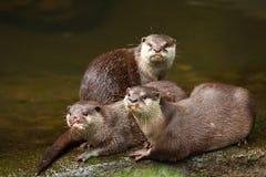 Kudde van Otter Stock Foto