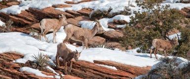 Kudde van oviscanadensis van Bighornschapen op zonnige de winterdag in Zion National Park in Utah de V.S. stock afbeeldingen