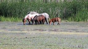 Kudde van paarden stock footage