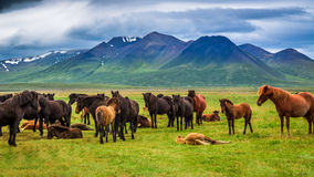 Kudde van paarden in de bergen, IJsland Royalty-vrije Stock Afbeeldingen